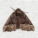 Hubner's Pero - Hodges #6748 - Pero ancetaria