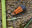 Beetle 737A 7757 - Calopteron terminale