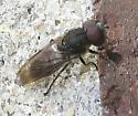 Fly - Chrysogaster - male