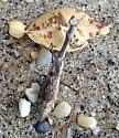 Stagmomantis carolina - Carolina Mantis, Male ? - Stagmomantis carolina - female