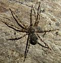 Brown and white spider - Dolomedes tenebrosus