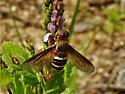 Unidentified Fly - Exoprosopa