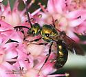 Halictidae ? - Augochlora pura - male