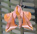 Furry orange and yellow moth. - Paonias astylus