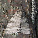 Moth - Catocala relicta