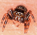 Baby Jumping(?) Spider - Phidippus