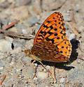 Butterfly species? - Speyeria