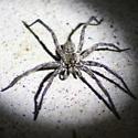 Wolf spider sp. - Sosippus texanus