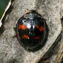 Round beetle - Harmonia axyridis