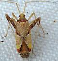 Colorful Plant Bug - Phytocoris