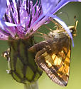 Is this a skipper? - Poanes hobomok