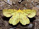 Crocus Geometer - Xanthotype sospeta - male