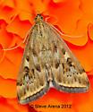 Beet Webworm Moth (Loxostege sticticalis) - Loxostege munroealis