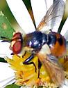 Fly - Gymnosoma