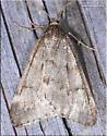 Paleacrita vernata - Alsophila pometaria - male