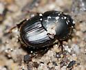 Dung Beetle - Onthophagus