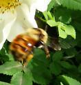 Bombus Queen at Scotch Rose - Bombus rufocinctus - female
