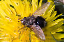 Fly on Dandelion - Epalpus signifer