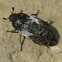 Carpet Beetle - Dermestes marmoratus