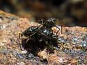 Flies - Pentacora ligata