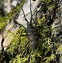 Spotted Pine Sawyer (M. clamator)  - Monochamus clamator