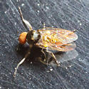 Small Fly w/ Red Eyes - male