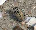 Tiger Beetle - Habroscelimorpha dorsalis