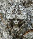 Araneus bicentenarius in California? - Araneus andrewsi - female