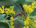 paper wasp – Polistes sp. - Polistes fuscatus