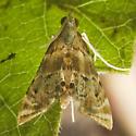 8007526 Petrophila - Petrophila fulicalis