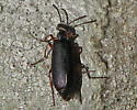 Another beetle - Lytta aenea