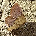 Lycaenidae: Cupido comyntas - Cupido comyntas