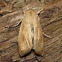 Wheat Armyworm - Hodges #10438.1 - Mythimna sequax