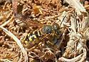 Bee? or Wasp? - Dianthidium