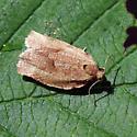 Moth - Choristoneura rosaceana - male