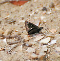 Fingernail-size Black Butterfly - Pholisora catullus