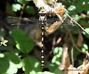 Dragonfly - Cordulegaster dorsalis
