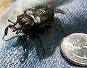Scarab Beetle  - Osmoderma scabra