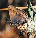 Elfin species unknown - Satyrium saepium