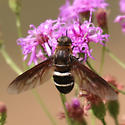 Robust Fly Nectaring on Vernonia - Exoprosopa fasciata