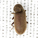 Silky Anobiid Beetle - Priobium sericeum