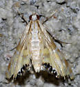 Petrophila - Petrophila daemonalis