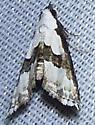Nigetia formosalis – Thin-winged Owlet Moth  - Nigetia formosalis