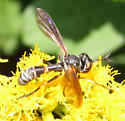 Physoconops obscuripennis? - Physoconops - female