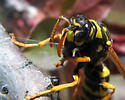Doing her job - Polistes dominula - female