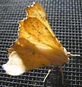 Maple Spanworm Adult- SK - Ennomos magnaria