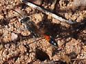 Thread Wasted Wasp, Ammophila procera? - Ammophila