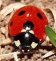 Lady Beetle - Coccinella septempunctata