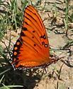 Orange Butterfly - Agraulis vanillae