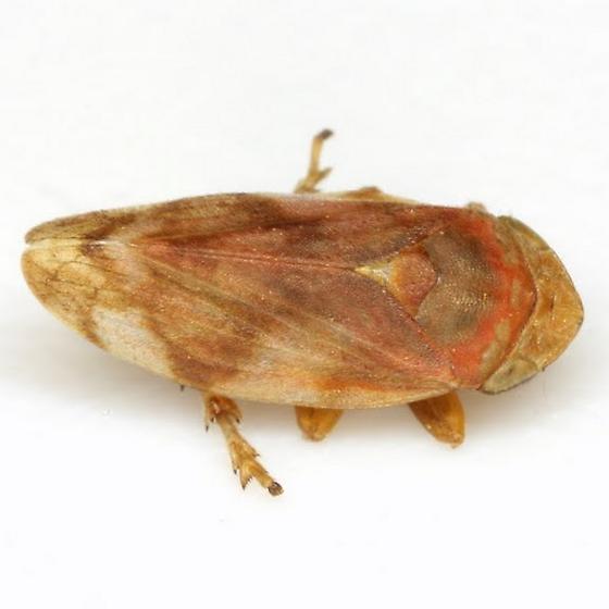 Philaenus spumarius (Linnaeus) - Philaenus spumarius
